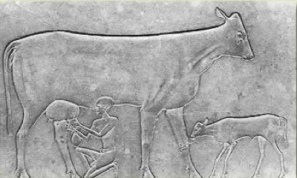 historical cave image - milking cow