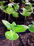 coffee_treeseedlings_1